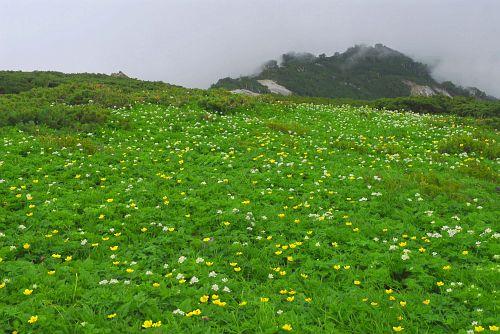 シナノキンバイとハクサンイチゲのお花畑