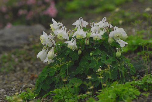 ミヤマオダマキの白花種
