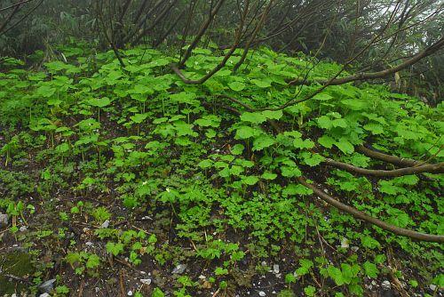 白馬尻・雪渓脇、大急ぎで早春から夏へと駆け抜ける山の植物