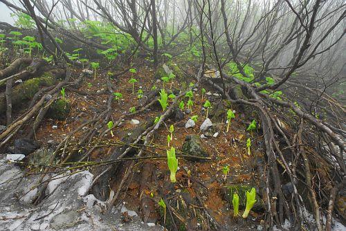 白馬尻・雪渓脇の芽生え