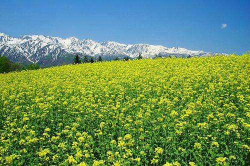 白馬夢農場より菜の花と北アルプス-1