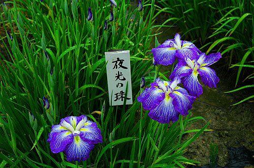 池田町 相道寺 花菖蒲園 ハナショウブ-7