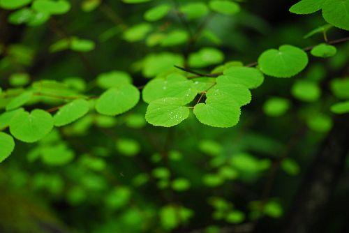 横尾谷 カツラの葉のリズム