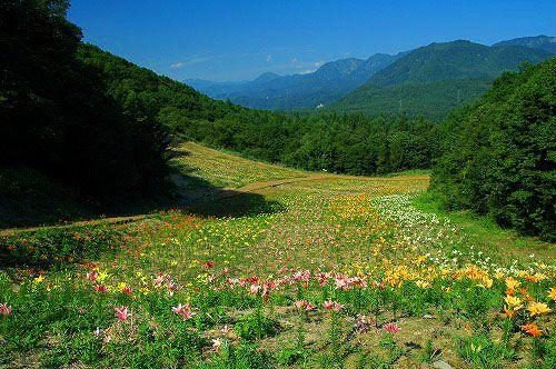 小谷村 白馬いわたけ ゆりの園-2