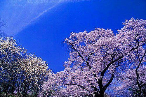松本市 アルプス公園 桜とコブシ-1
