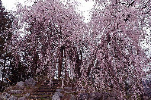 松本市梓川寺家 舟つなぎ桜-1