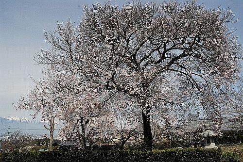 松本市内田 桃昌寺の桜-1