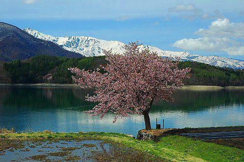 大町市青木湖加蔵 桜と北アルプス-1