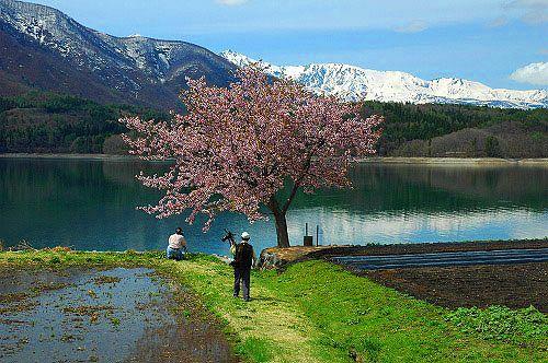 大町市青木湖加蔵 桜と北アルプス-2