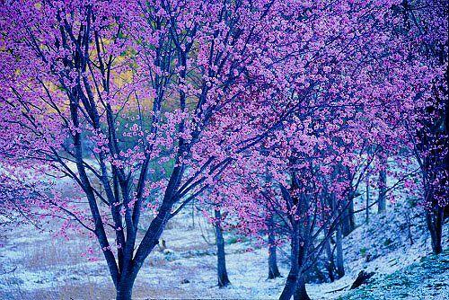 大町市青木湖藪沢 桜と残雪の山-2
