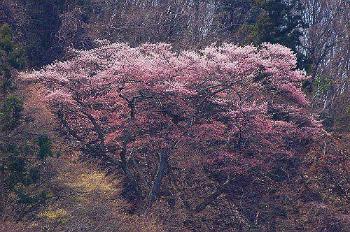 大町市常盤西山城山 大崖の桜-1