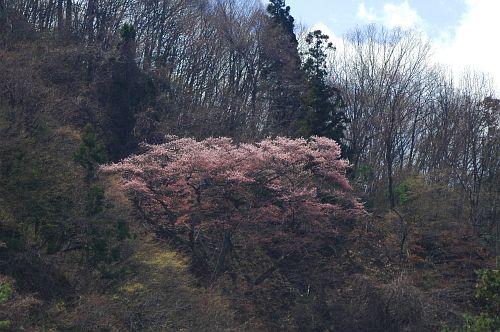 大町市常盤西山城山 大崖の桜-2