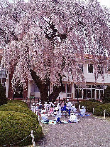 山形村 山形小学校の桜-1