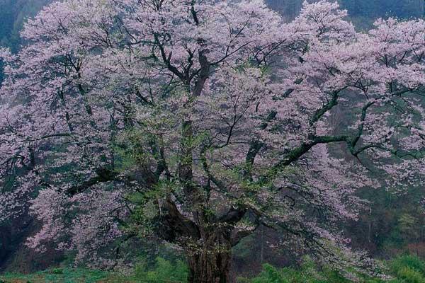 阿智村 駒つなぎの桜