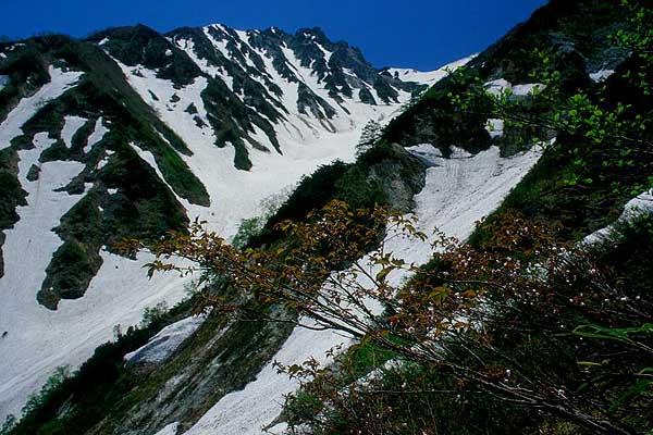 白馬村 大雪渓 タカネザクラ