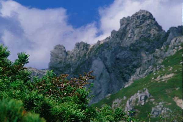 宝剣岳  タカネザクラ