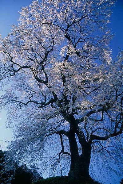 飯田市 旧麻績学校南の石塚桜