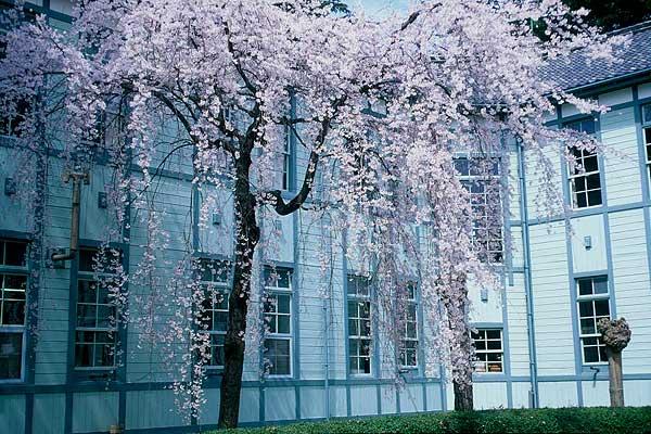 松本市 県の森 シダレザクラ