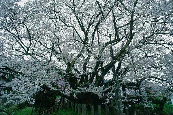 長野市 素桜神社 神代桜