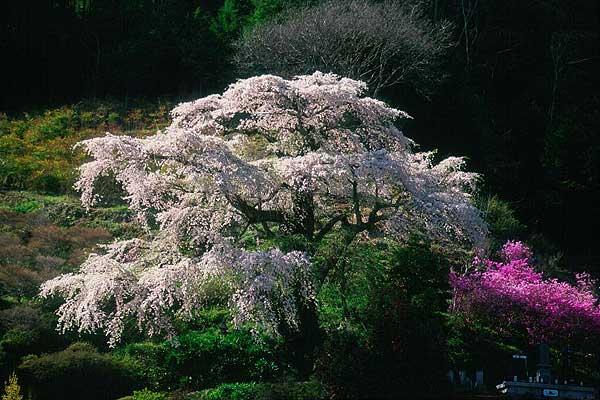 中川村 美里の桜