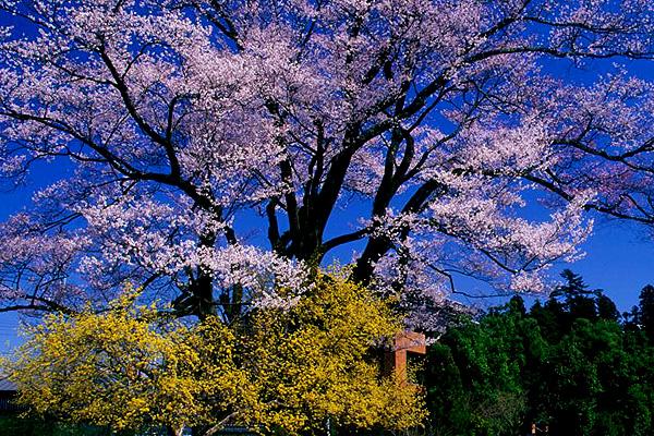 飯田市 安富桜