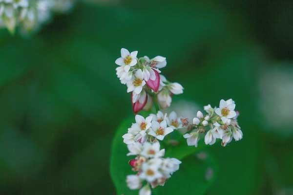 安曇野市堀金・そばの花と実 2