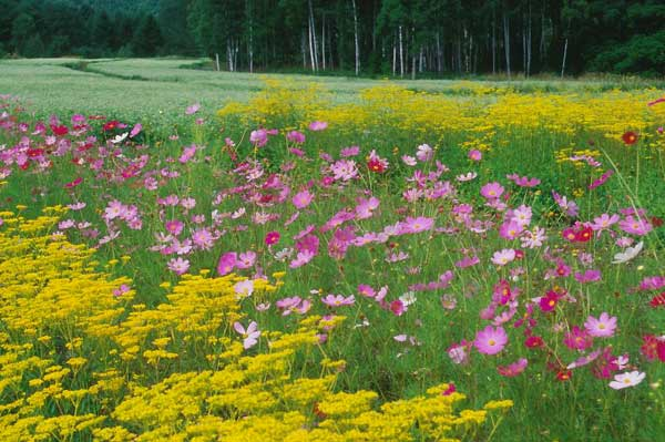 木曽町開田高原・木曽馬の里・秋の花とそば畑