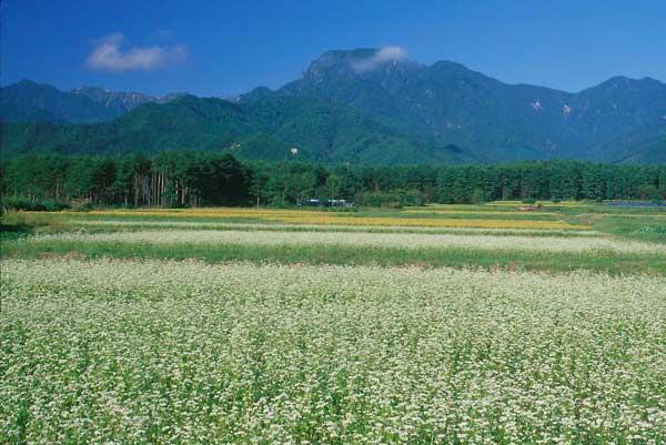 松川村・そば畑と稲田と有明山