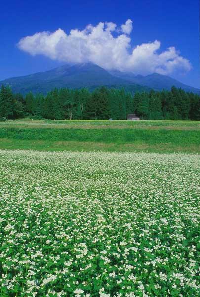 妙高高原町・杉野沢・そば畑と妙高山