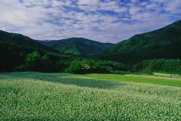 松本市奈川・そば畑 1