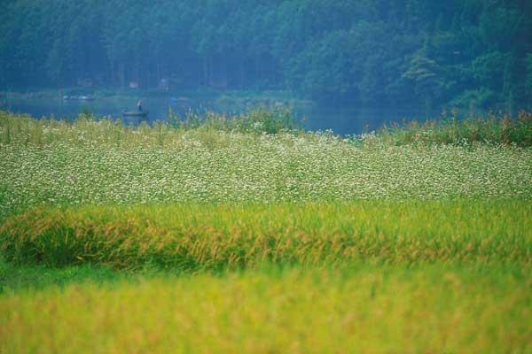大町市木崎湖畔・稲田とそば畑