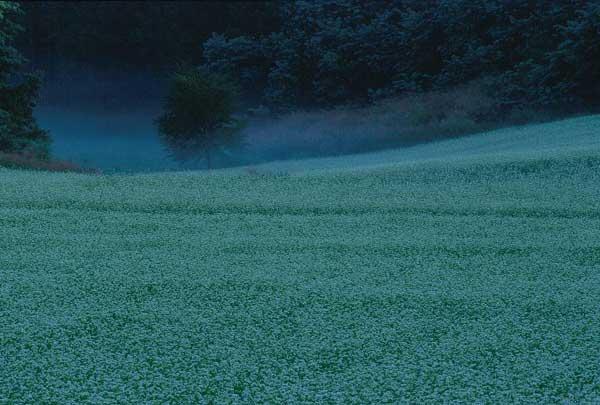 大町市・早朝のそば畑