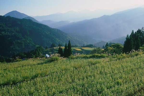 小谷村曽田・残照のそば畑