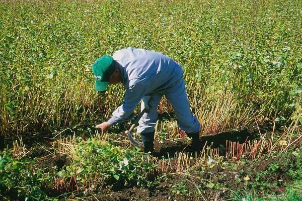 塩尻・本山そばの里・手刈りで収穫