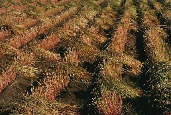 塩尻・本山そばの里・収穫中のそば